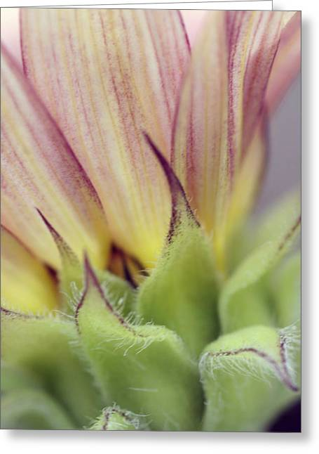 Greeting Card featuring the photograph Hybrid Sunflower by Holly Ethan