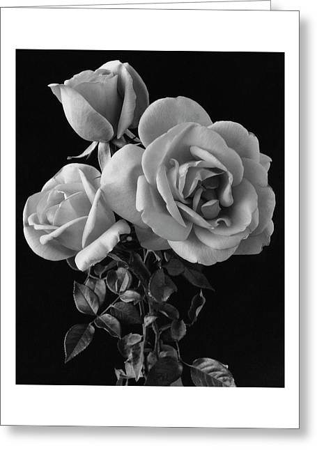 Hybrid Tea California Roses Greeting Card