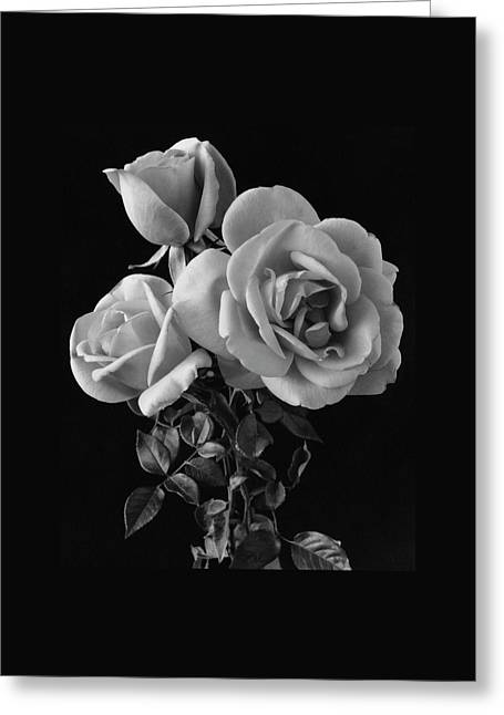 Hybrid Tea California Roses Greeting Card by Edwin T. Merchant