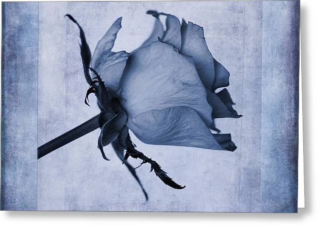 Hybrid Tea Rose Cyanotype Greeting Card by John Edwards