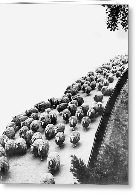 Hyde Park Sheep Flock Greeting Card by Underwood Archives