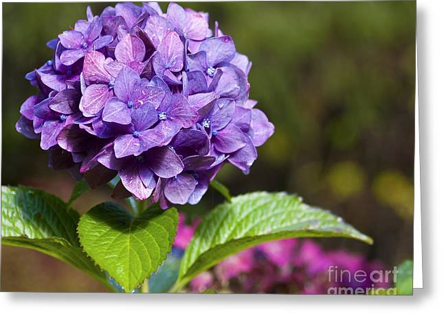 Greeting Card featuring the photograph Hydrangea by Belinda Greb
