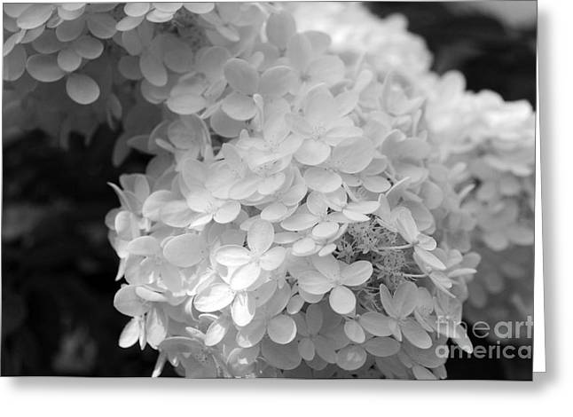 Hydrangea Bright And White Greeting Card