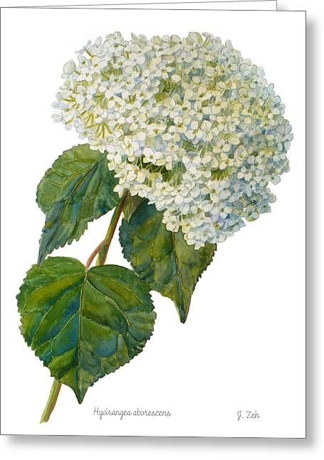 Hydrangea Aborescens Greeting Card by Janet  Zeh
