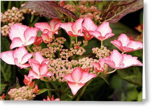 Hydrangea Macrophylla 'love You Kiss' Greeting Card by Adrian Thomas