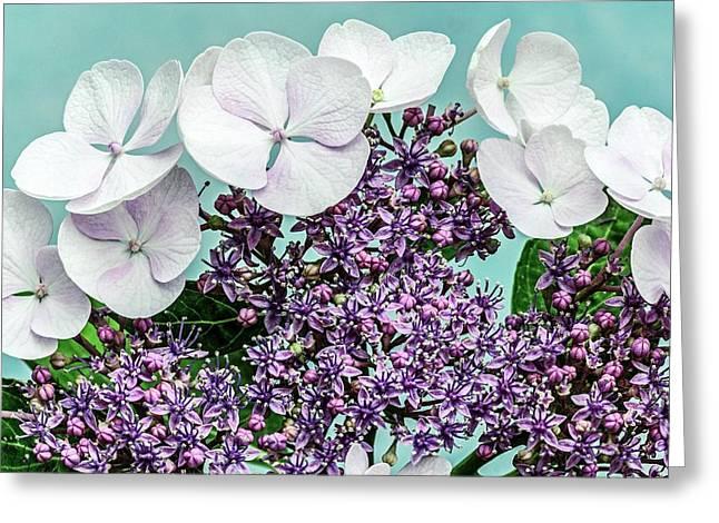 Hydrangea Macrophylla 'teller Blanc' Greeting Card by Brian Gadsby