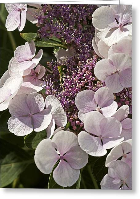Hydrangea Macrophylla 'teller Blanc' Greeting Card by Science Photo Library