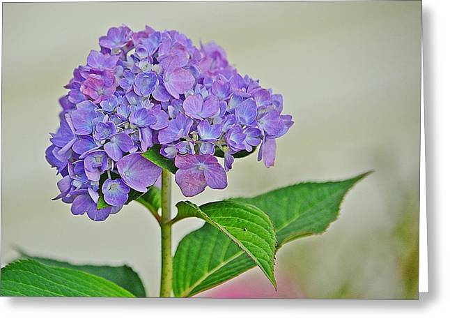 Hydrangea Greeting Card by Marjorie Tietjen