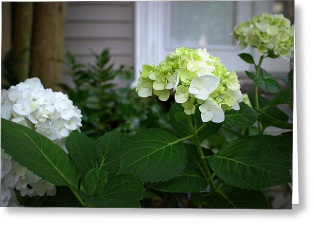 Hydrangeas IIi Greeting Card