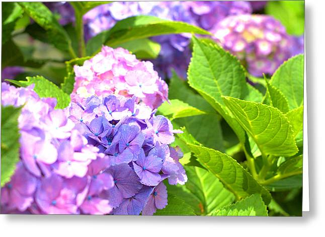 Greeting Card featuring the photograph Hydrangeas In The Sun by Rachel Mirror
