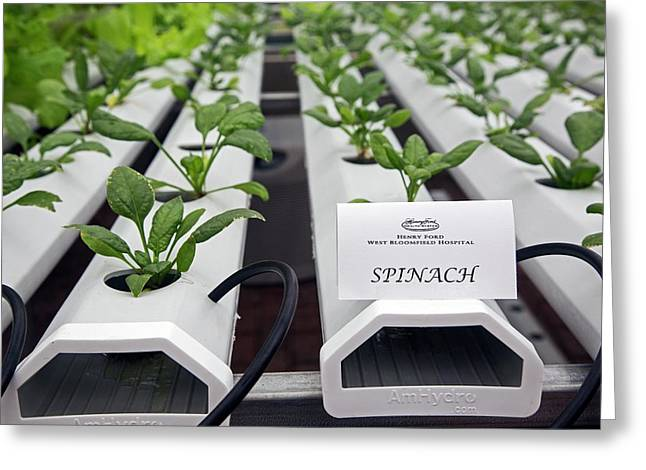 Hydroponic Spinach At A Hospital Farm Greeting Card by Jim West