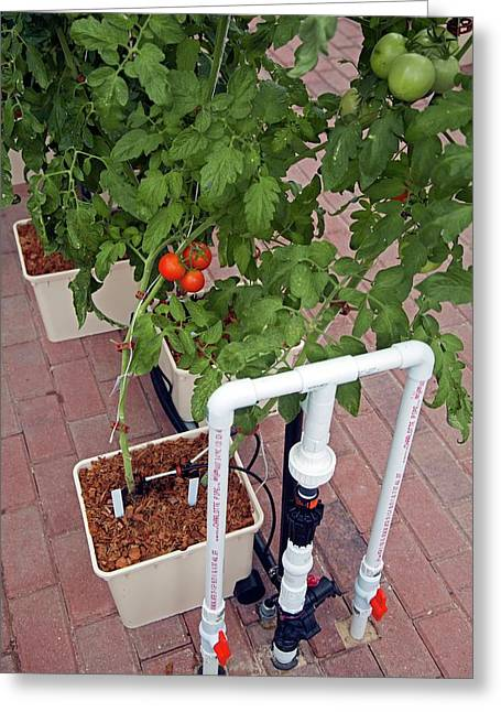 Hydroponic Tomatoes At A Hospital Farm Greeting Card