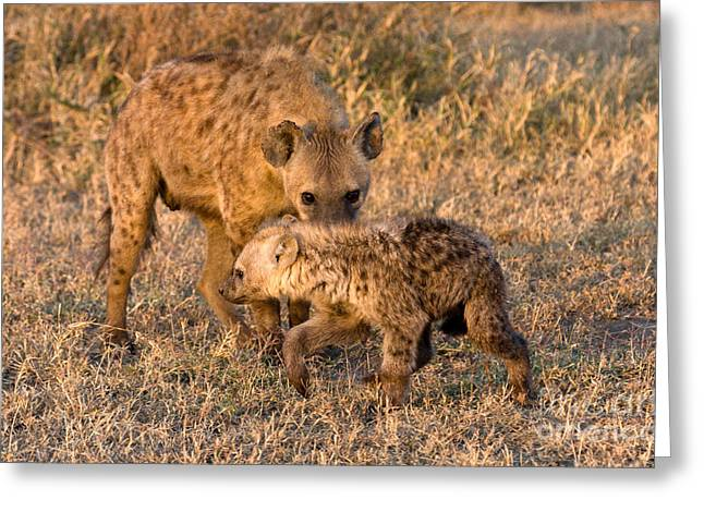 Hyena Mother And Cub Greeting Card by Chris Scroggins