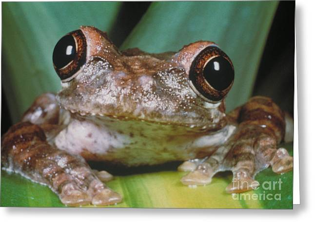 Hyla Vasta Tree Frog Greeting Card by Jeff Lepore