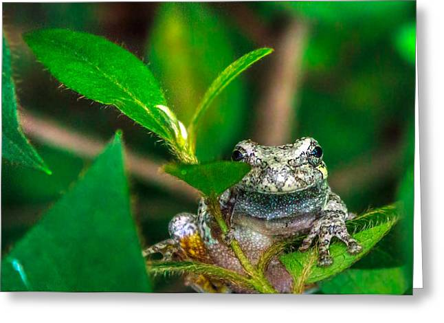 Greeting Card featuring the photograph Hyla Versicolor by Rob Sellers