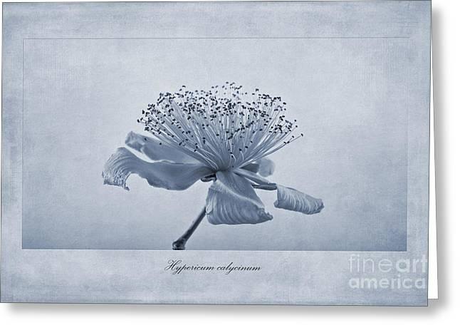 Hypericum Calycinum Cyanotype Greeting Card by John Edwards