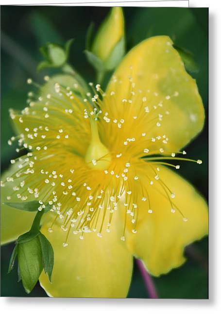 Hypericum  Greeting Card by Penny Hunt