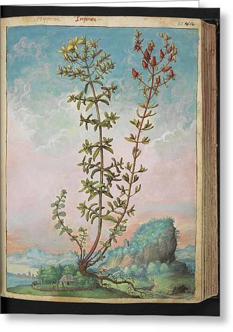 Hypericum Perforatum Greeting Card by British Library