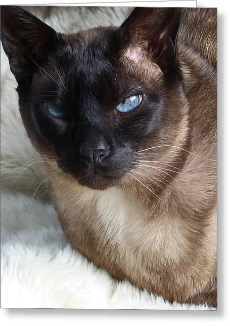 I Am A Tonkinese Greeting Card by Margaret Saheed