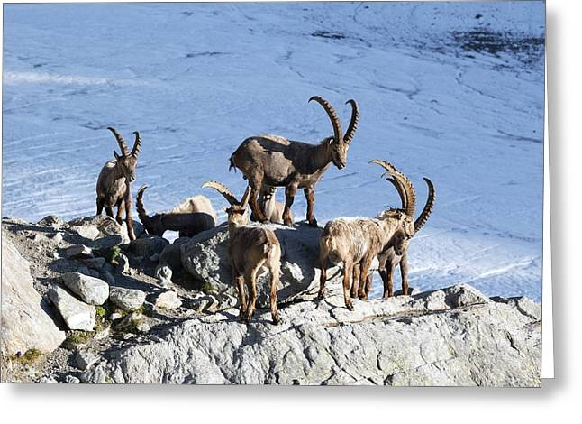 Ibex By A Glacier Greeting Card
