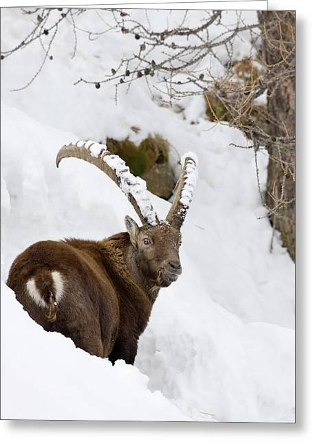 Ibex (capra Ibex Greeting Card by Martin Zwick