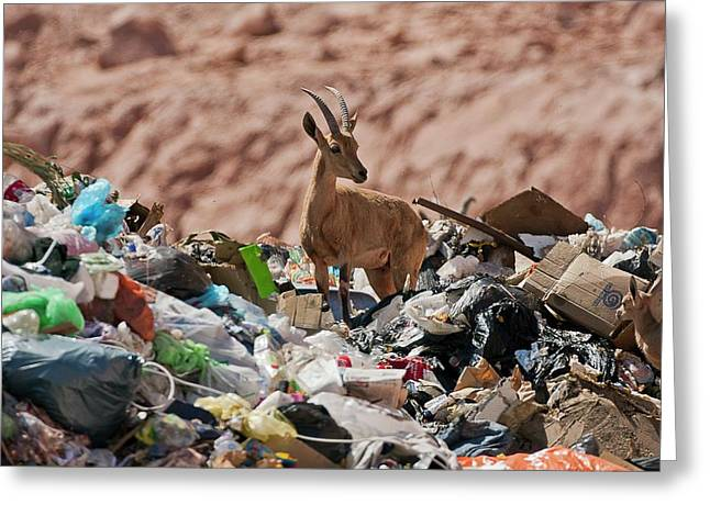 Ibex In City Dump Greeting Card by Photostock-israel