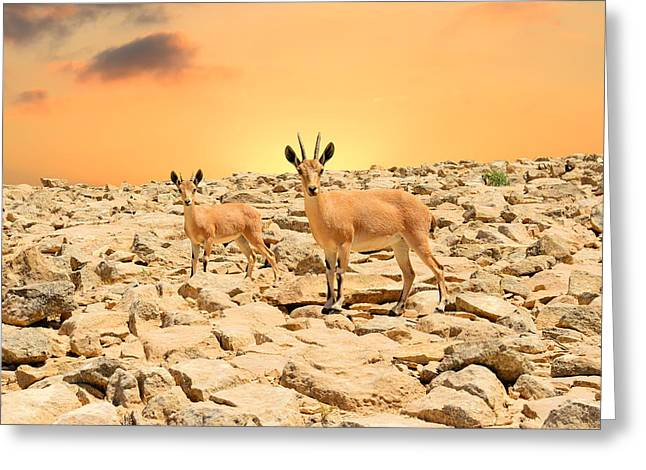 Ibexes And Sunset Greeting Card