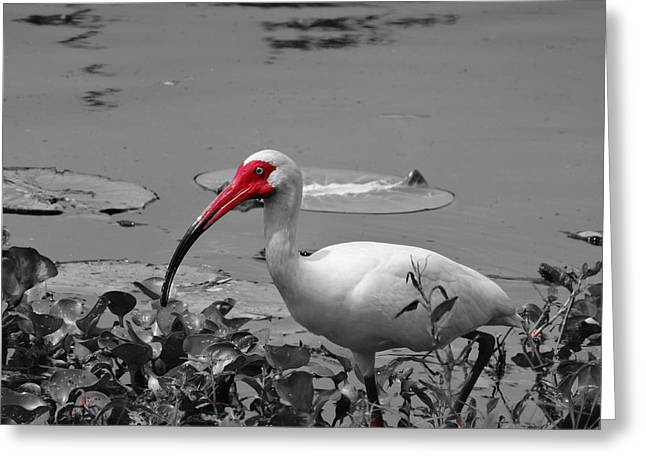 Ibis In Brazos Bend State Park Greeting Card by Dan Sproul