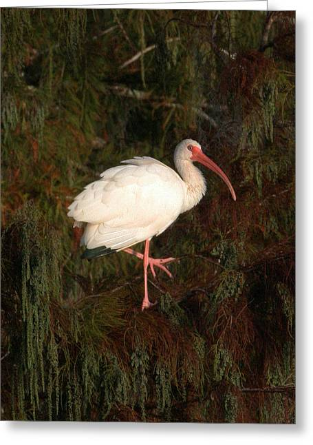Ibis In The Cypress Greeting Card by Jeff Wright