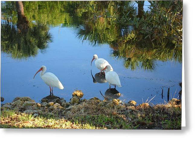 Ibis In Three Greeting Card
