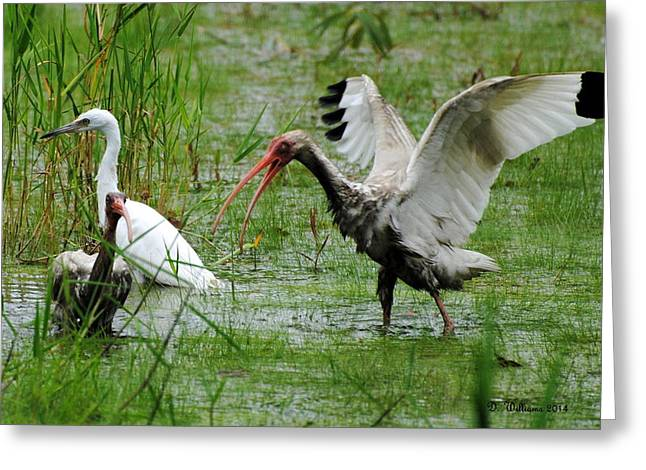 Ibis Landing Greeting Card