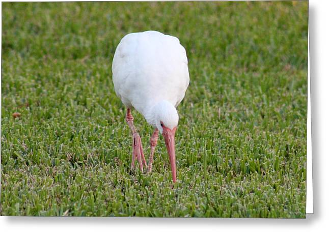 Ibis Swag Greeting Card