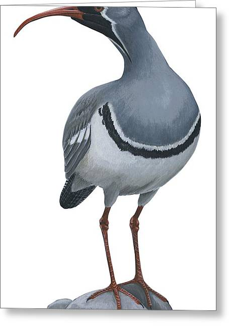 Ibisbill Greeting Card by Anonymous