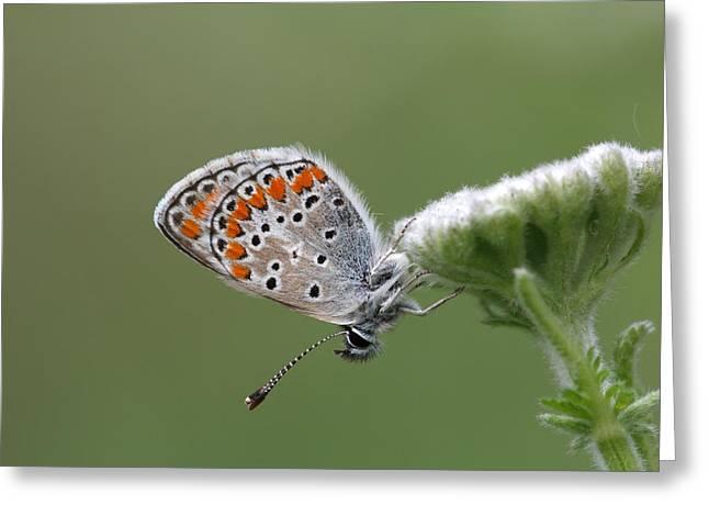 Icarusblauwtje Zit Op Een Bloem In Het Pirin Gebergte In Bulgarije Greeting Card by Ronald Jansen