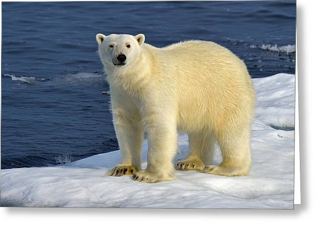 Ice Bear Greeting Card by Tony Beck