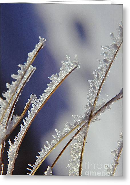 Greeting Card featuring the photograph Ice Crystals On Fireweed Fairbanks  Alaska By Pat Hathaway 1969 by California Views Mr Pat Hathaway Archives