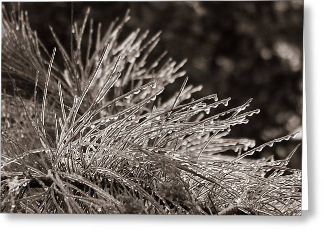 Ice On Pine Greeting Card