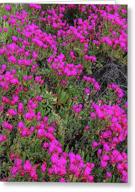 Ice Plant Along The Pacific Ocean Greeting Card by Chuck Haney