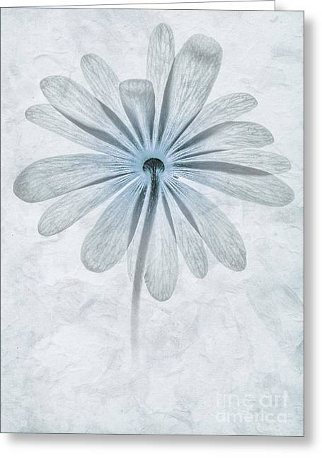 Iced Anemone Greeting Card by John Edwards