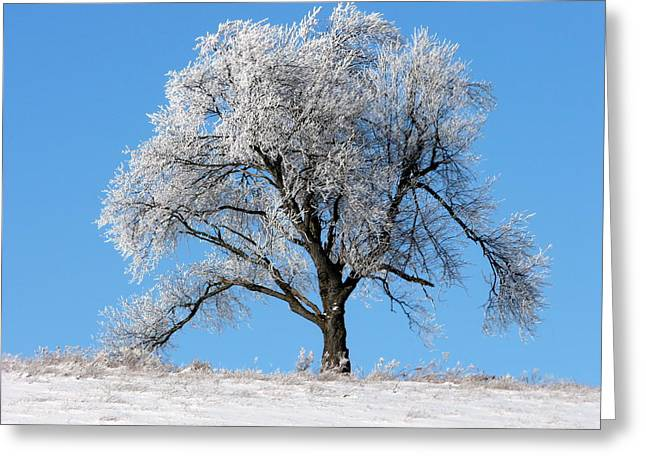 Iced Maple Greeting Card by Elizabeth Holland