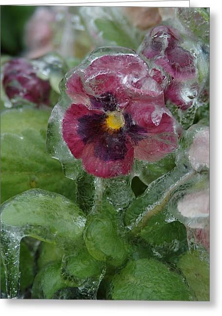Iced Purple Pansy Greeting Card