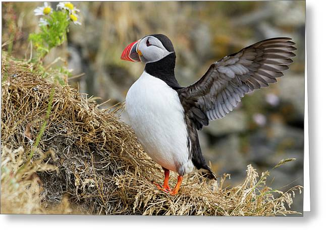 Iceland Close-up Of Puffin Flapping Greeting Card by Jaynes Gallery
