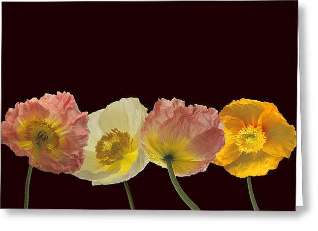Greeting Card featuring the photograph Iceland Poppies On Black by Susan Rovira