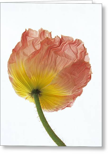 Greeting Card featuring the photograph Iceland Poppy 1 by Susan Rovira