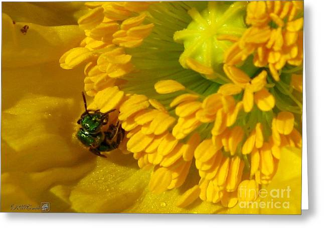 Iceland Poppy Pollination Greeting Card by J McCombie