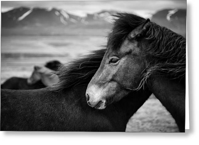 Icelandic Horses Greeting Card by Dave Bowman