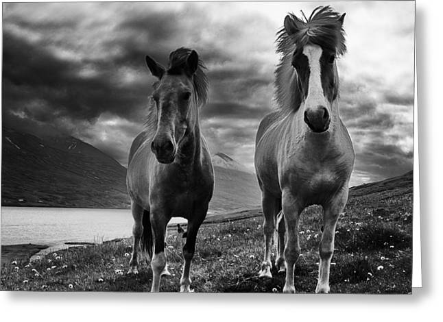 Icelandic Horses Greeting Card by Frodi Brinks