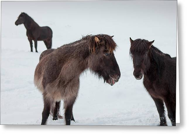 Icelandic Horses With Winter Coats Greeting Card by Panoramic Images