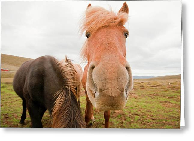 Icelandic Ponies Near Dalvik Greeting Card by Ashley Cooper