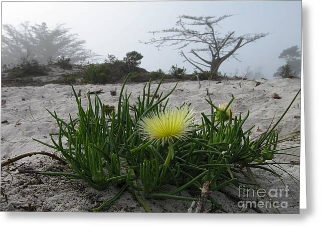Iceplant Bloom On Carmel Dunes Greeting Card
